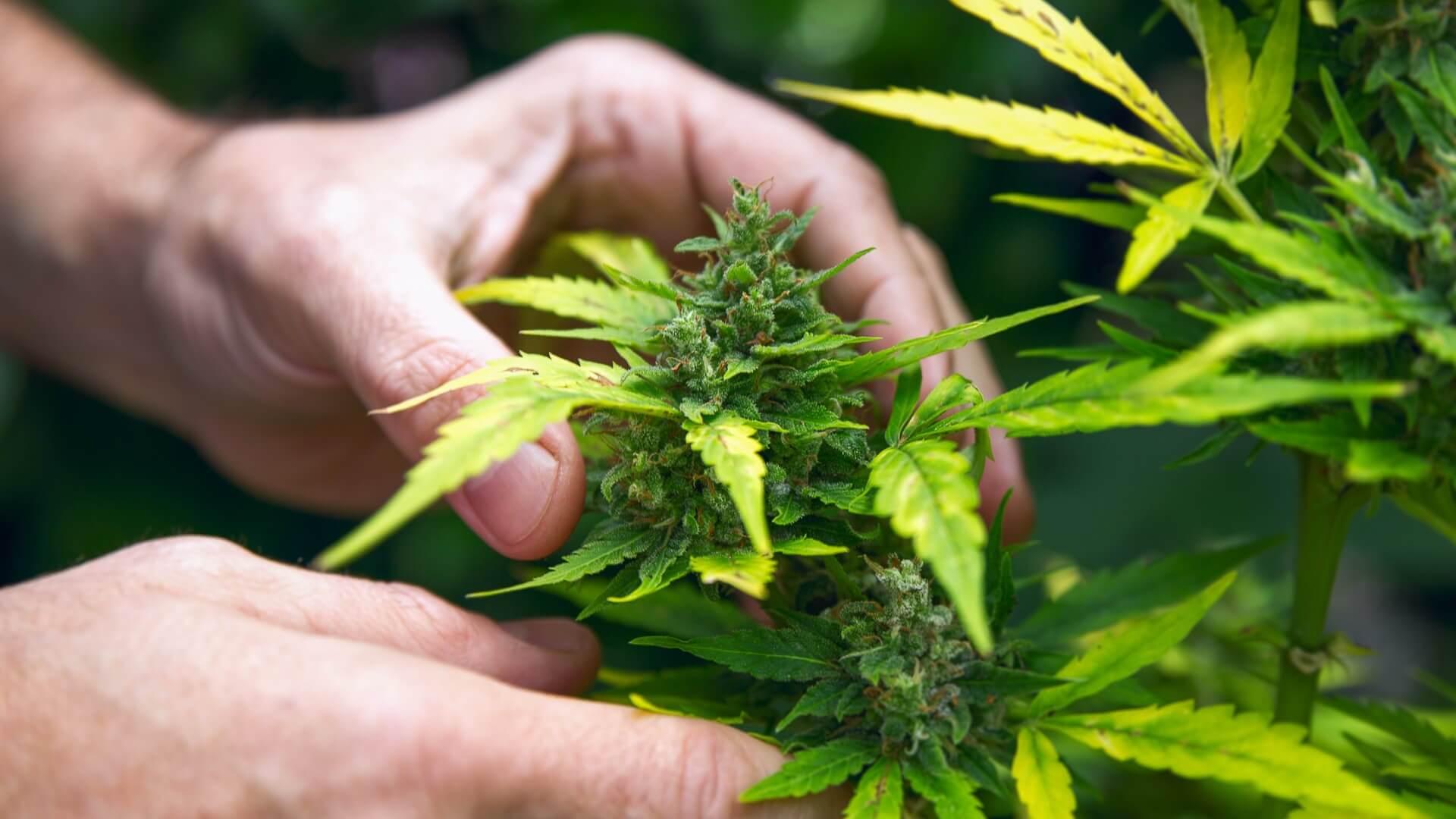 Figure 4 Cannabis plant
